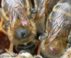 Varroas phorétiques